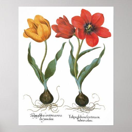Vintage Tulip Flowers by Basilius Besler Poster