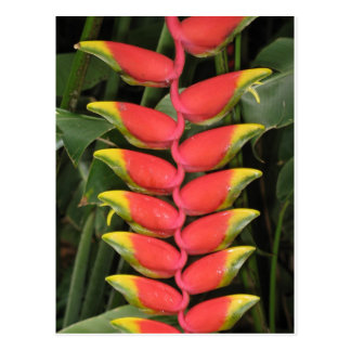 Virbrant Heliconia Postcard