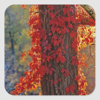 Virginia Creeper bright red in autumn at Stickers