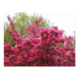 Vivid Pink Crab Apple Tree Flowers Post Cards
