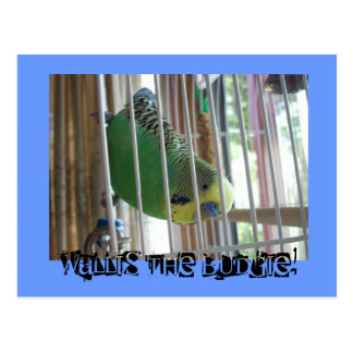 Wallis the Budgie! Postcard