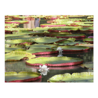 Water lily - Waterlily Postcard
