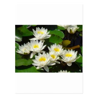waterlilies and leaves postcard
