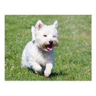 West Highland White Terrier, westie dog cute photo Postcard