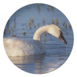 whistling swan, Cygnus columbianus, eating water Plate