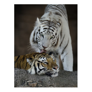 White And Brown Tigers Resting Postcard