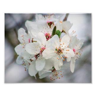 White Cherry Blooms Design Photograph
