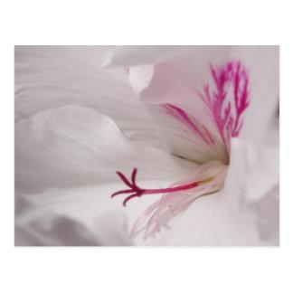 White Geranium Postcard