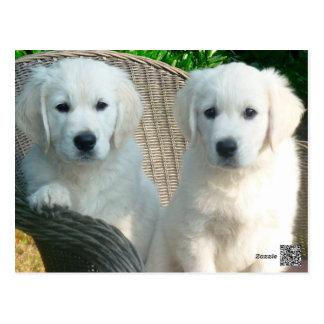 White Golden Retriever Dogs Sitting in Fiber Chai Postcard