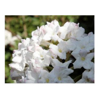 White lilac postcard