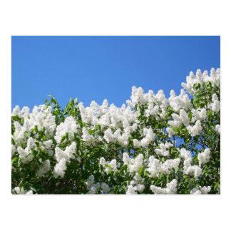 White Lilacs 2 Post Card