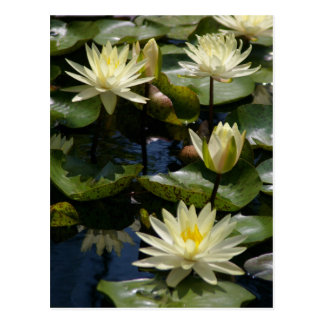White Lotus Waterlilies Postcard