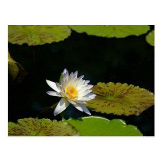 White Lotus Waterlily Postcard