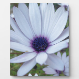 White Osteospermum Flower Daisy With Purple Hue Plaque