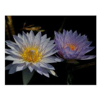 White & Purple Lotus Waterlilies Postcard