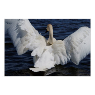 White Swan Wall Poster