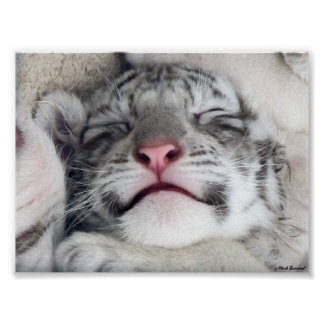 White Tiger Kitten Poster