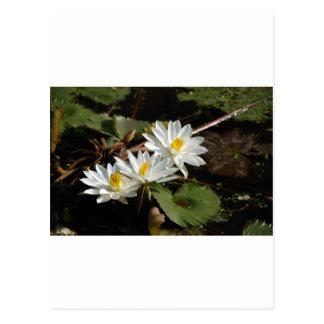 White WaterLilies Postcard