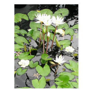 White waterlilies reflection postcard