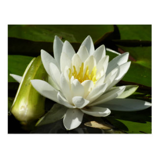 White Waterlily and Bud Summer Garden Photography Postcard