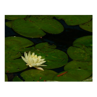White Waterlily I Peaceful Floral Photography Postcard