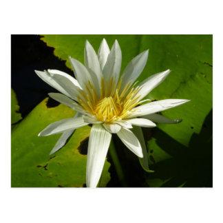 White Waterlily II Beautiful Water Garden Floral Postcard