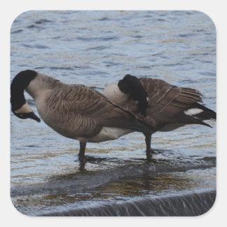 Wild Canada Geese Square Sticker