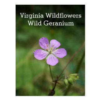 Wild Geranium Pink Virgina Wildflower Postcard