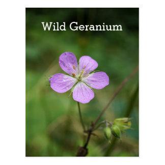 Wild Geranium Pink Wildflower Name Postcard