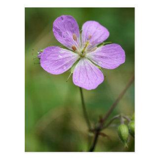 Wild Geranium Pink Wildflower Postcard