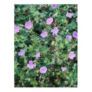 Wild Geraniums Postcard