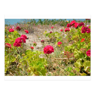 Wild Red Geraniums Postcard