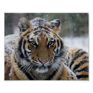 Winter Tiger Face Poster