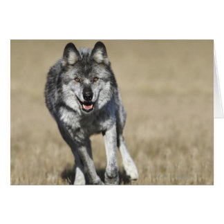 Wolf (Canis Lupus) Running Towards Camera Card