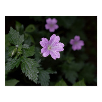 Wood Cranesbill Postcard