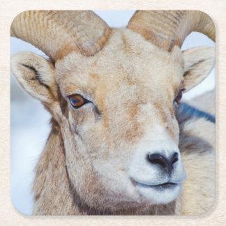 Wyoming, National Elk Refuge, Bighorn Sheep Ram Square Paper Coaster