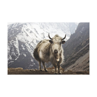 Yak in Nepal Canvas Prints