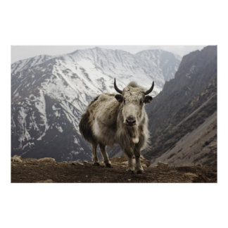Yak in Nepal Poster