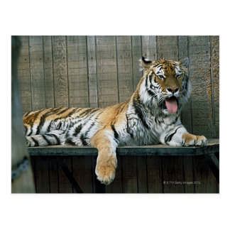Yawning tiger in cage at zoo postcard