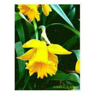 'Yellow Daffodil' Postcard