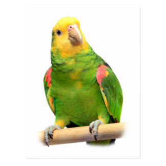 Yellow-headed amazon postcard