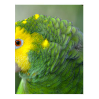 Yellow Headed Amazon Postcard