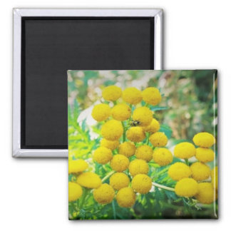Yellow Lady Bug on Tansy Flowers Square Magnet