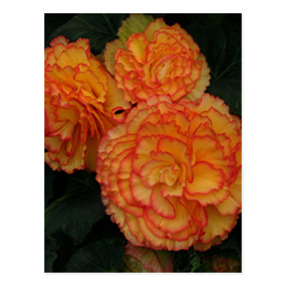 Yellow &orange frilled begonias postcard