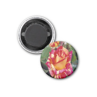 Yellow Pink Roses Magnet