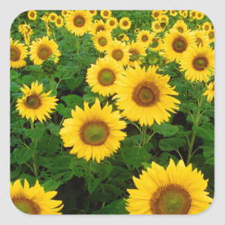 Yellow Sunflowers Square Sticker