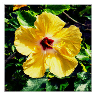 Yellow Tropical Hibiscus Poster