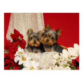 Yorkie puppies with Poinsettias Postcard