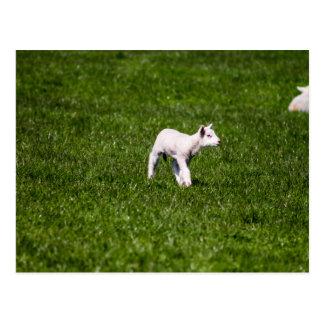 Young Lamb Postcard