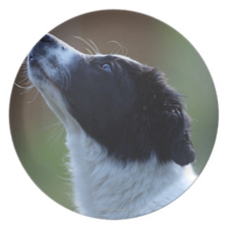 young pup Border Collie Plate